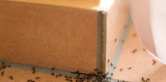 Ameisen im Haus